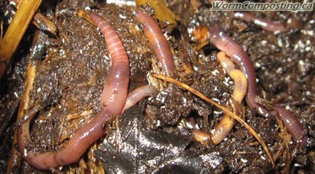 Worm Composting CanadaMy Winter Worm Bed